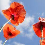 klaproos bloem of onkruid